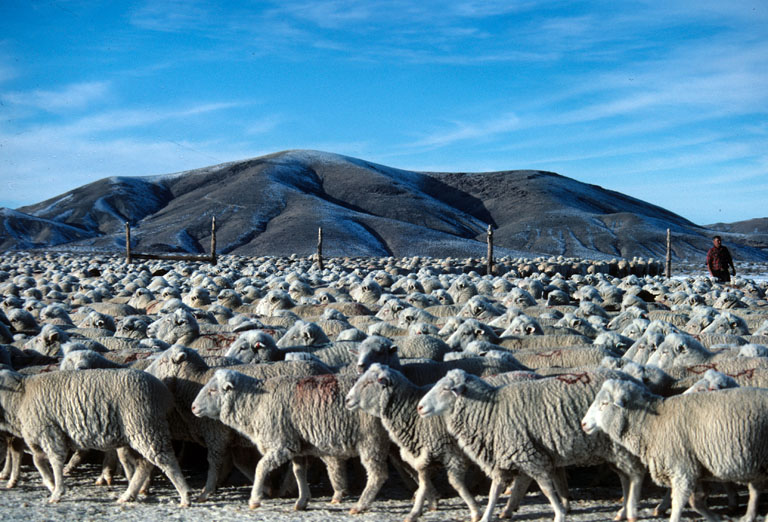Big Flock of Sheep